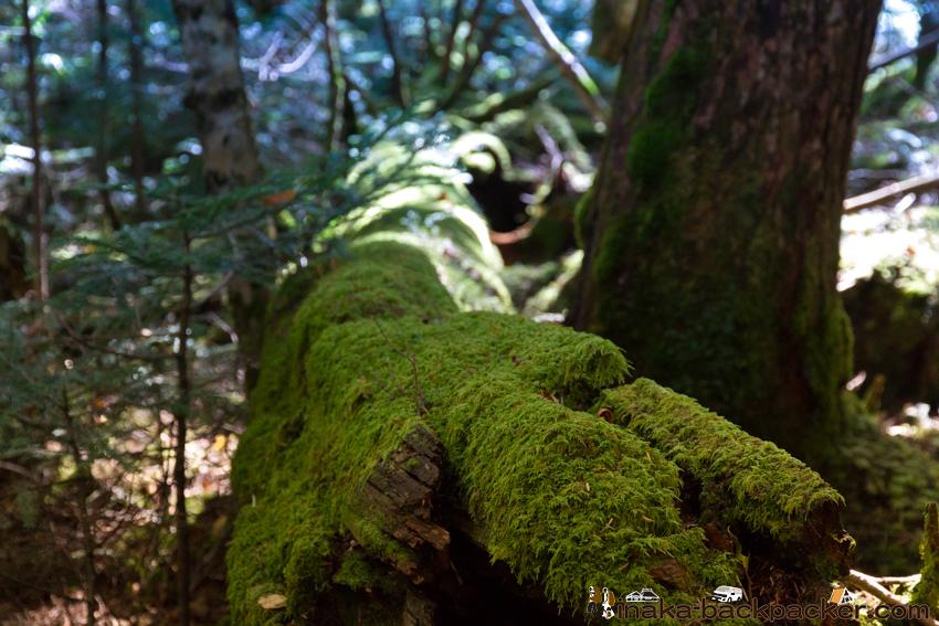 白駒池 苔 木
