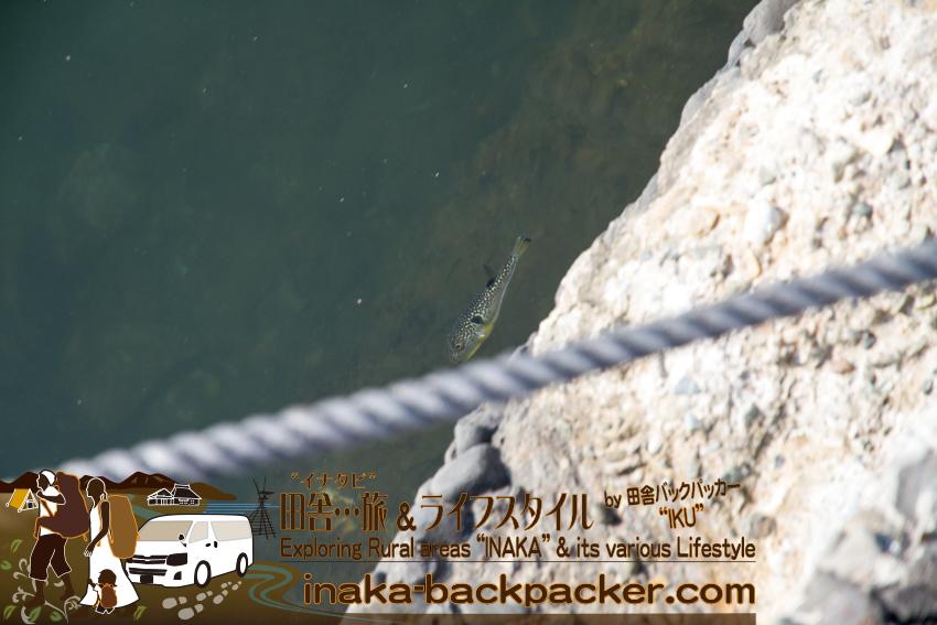 舳倉島でフグ発見