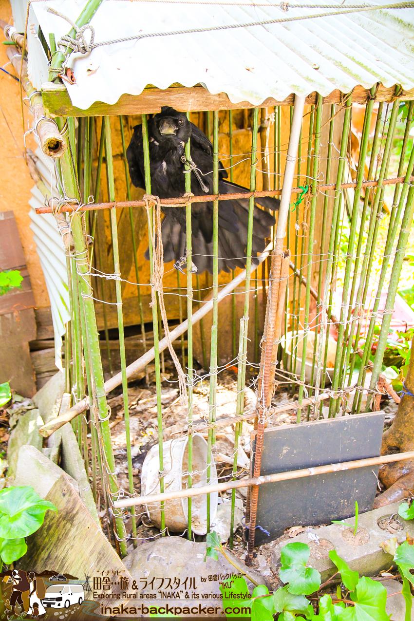 八幡浜大島(愛媛県) 島 雰囲気 飼われているカラス ehime yahatahama ohshima island japan