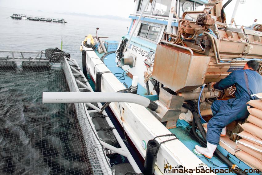 日振島 養殖の魚 えさやり
