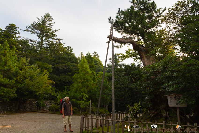 気多大社 椨の木(たぶのき)