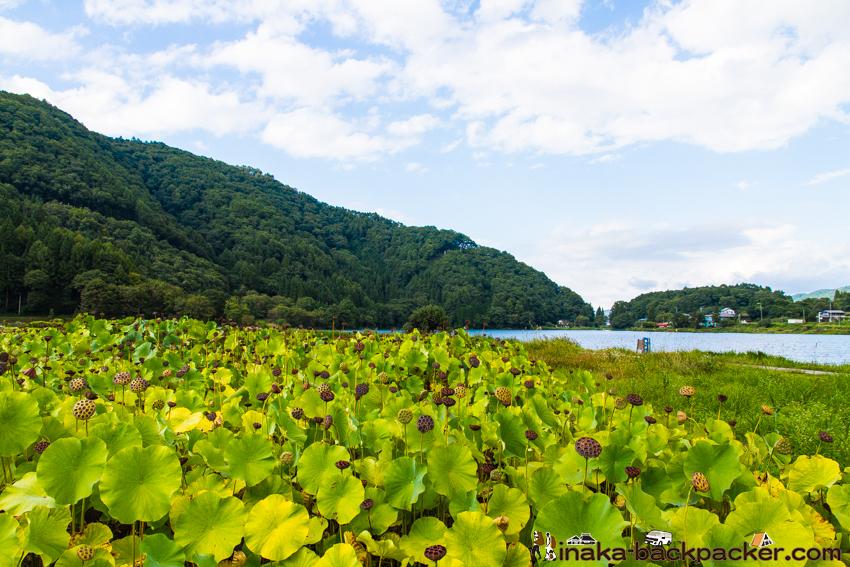 長野県 大町市 簗場 やなばえき 蓮 はす 一面 湖