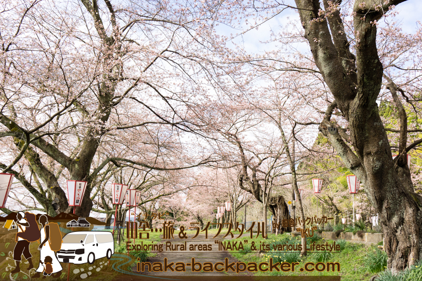 """2016年4月5日の""""能登さくら駅""""の桜。おそらく明日には8分咲になるだろう。"""