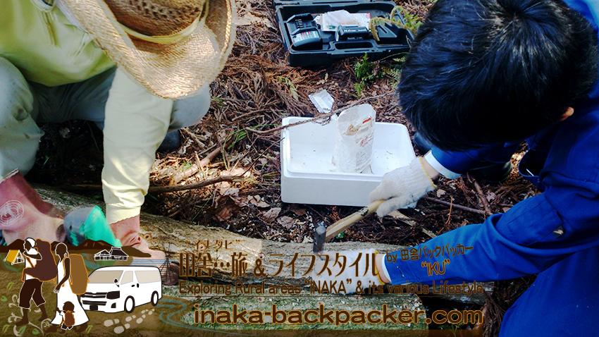 能登・穴水町岩車 - 近所の町の議員・新田信明さんとキノコの菌の打ち込み作業。