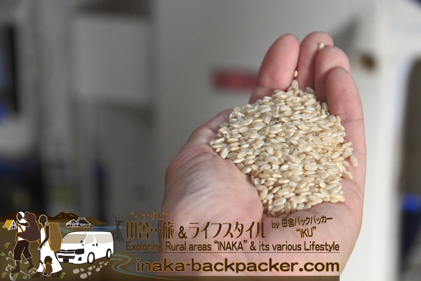 能登・穴水町岩車 - 籾摺り後、美味しそうな玄米になった。