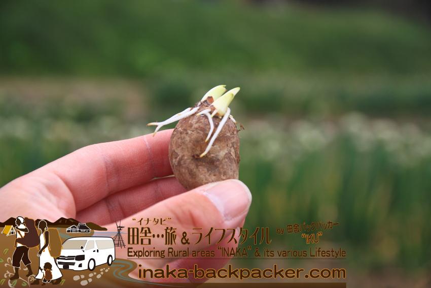 2013年5月、移住したばかりのころ、神奈川県から、「これ食べられないかな」と思い、はるばる能登へと思ってきた里芋。食べずに苗となり、沢山の里芋ができた。