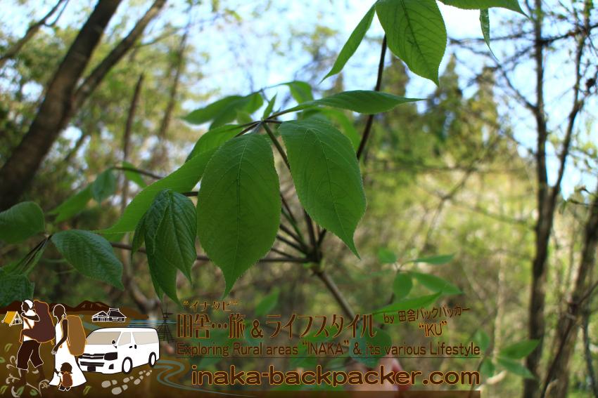 能登・穴水町岩車 - 能登の里山は山菜が沢山採れる。これはコシアブラ。