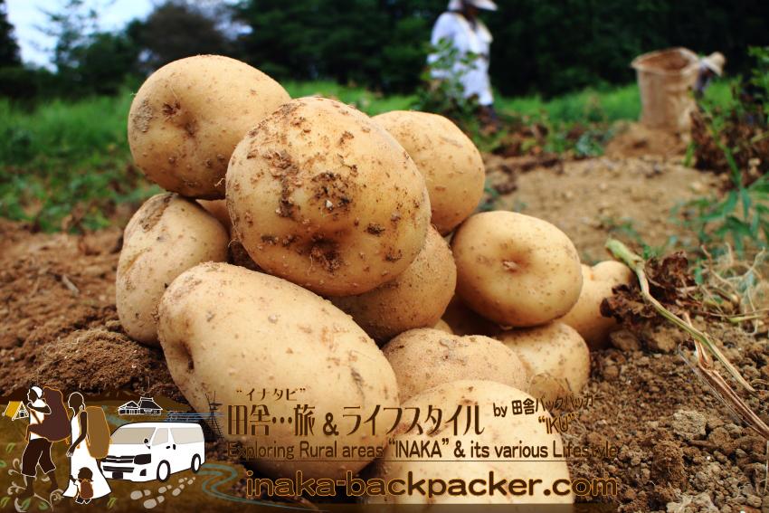 能登・穴水町岩車 - 大きなジャガイモが沢山。