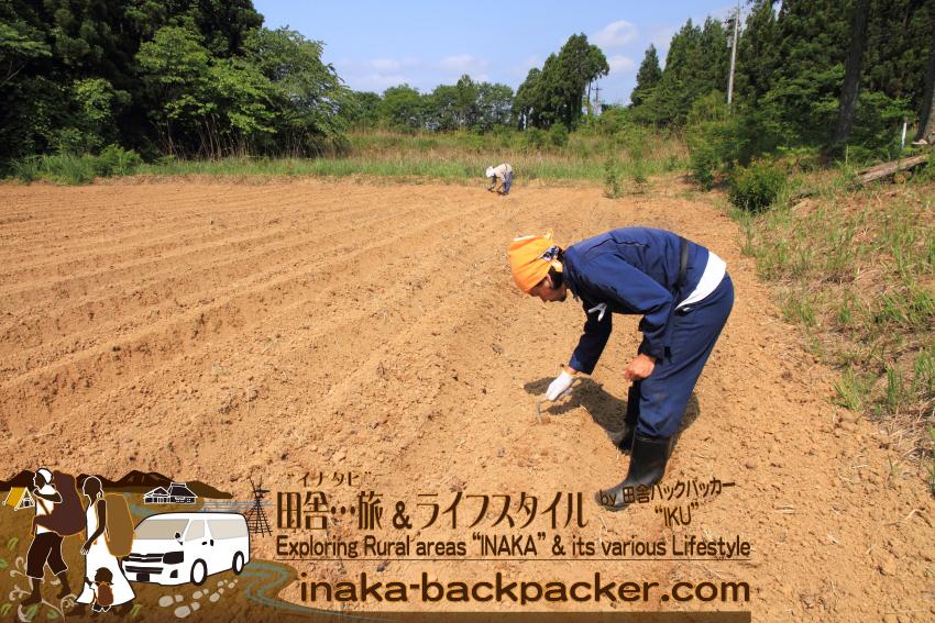 2013年6月の大豆植え。かなりの量を植えたのだが、失敗に終わった。近所で移住のお世話になった新田信明さんは2年前からチャレンジしたが、残念ながら「豆は難しい」と失敗に終わった。