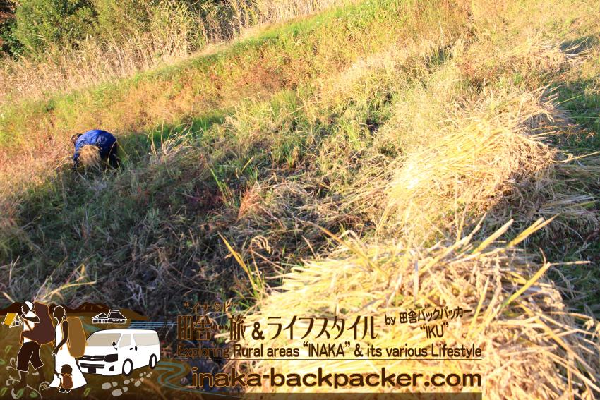 能登・穴水町岩車 - 雑草ぼうぼうの中、数日間行った稲刈り作業。