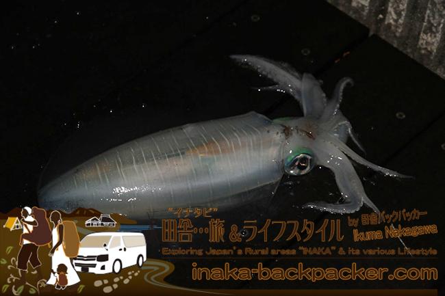 熊本県天草市牛深 – うしぶか海彩館の海沿いの牛深ハイヤ大橋の高架下で大きなミズイカ(アオリイカ)を釣った中学生。絞めた後は真っ白になる