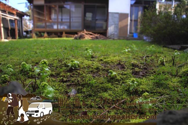 能登・穴水町岩車(石川県) - まさかこんな身近に...家の庭に蕗の薹(フキノトウ)が咲いているなんて、里山の力...食材が豊富な証だね