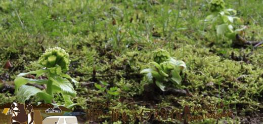 能登・穴水町岩車(石川県) - 今まで気づかなかったけど、まさかこんな身近に...家の庭に蕗の薹(フキノトウ)が咲くとは。来年は料理するだろうなぁ。ここから蕗が咲いて保存食もできるそうだよ