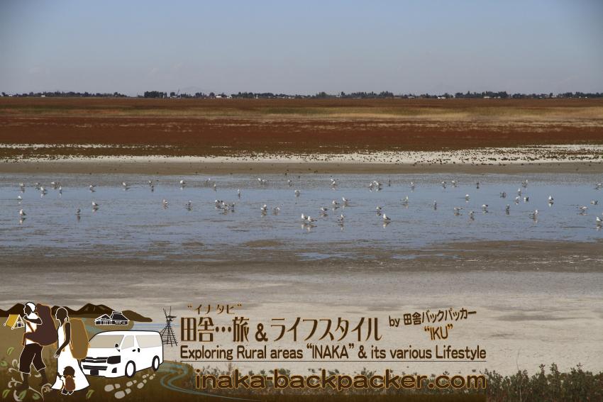 ユタ州グレートソルトレイク・アンテロープアイランド/島 - ウミネコかカモメか...やはり塩水だからだろうか...