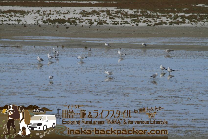 ユタ州グレートソルトレイク・アンテロープアイランド/島 - 多くのウミネコかカモメがソルトレイクにいる。渡り鳥として飛んできたのだろうか