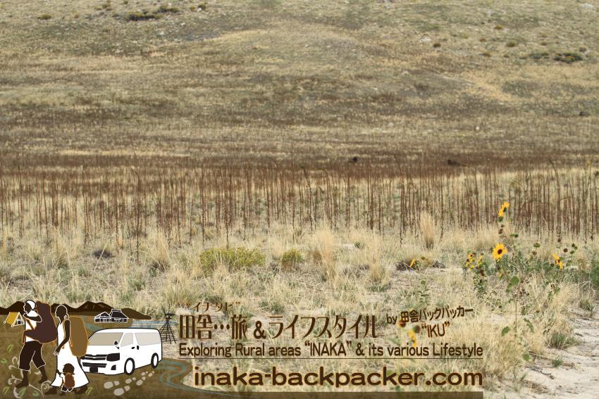 ユタ州グレートソルトレイク・アンテロープアイランド(島) - ホワイトロックループの散策コースを歩いていると、ようやくバイソンを近場で発見した。でも、「ホント500頭以上もいるのかね」という感じだ。