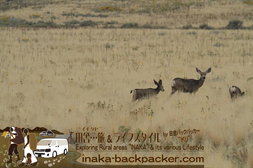 ユタ州ソルトレイク・アンテロープアイランド - この島の由来となった鹿のような動物アンテロープ。足の速さは北米一で最速110キロで走るんだとか。