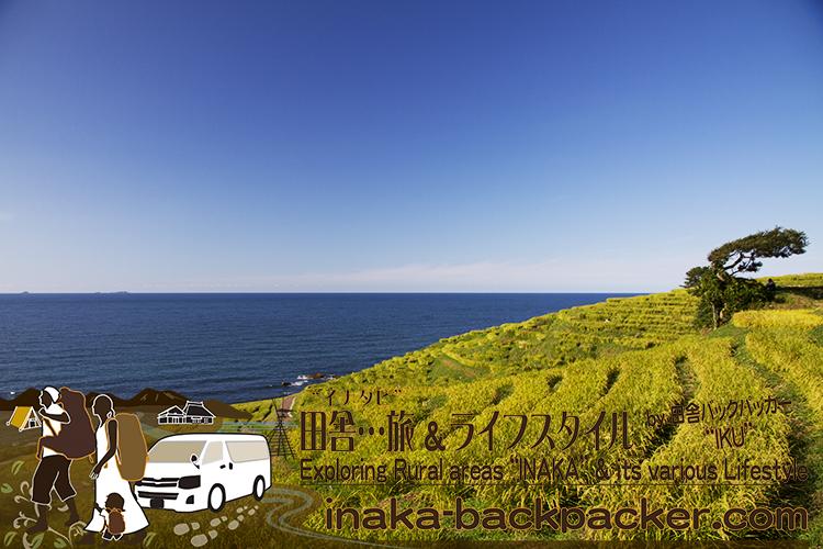 白米千枚田。稲が金色に輝き始めた。写真は8月28日撮影。石川県は冬になると風が強く、海のそばに立っている木は傾いていることが多い。石川県の冬の天候はなかなか厳しい。