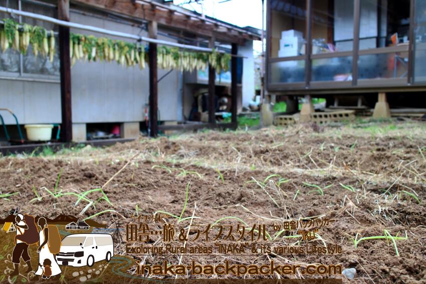 能登・穴水町岩車 - 一昨日は玉ねぎを植えた。冬を越えて、3月・4月ごろが収穫の時期。