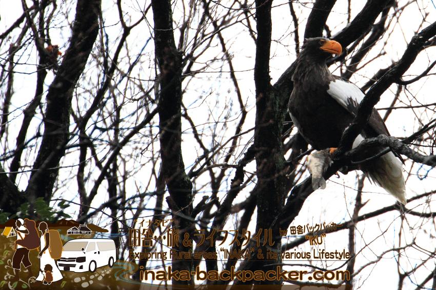 滋賀県湖北町 - 琵琶湖の大鷲(オオワシ)。北海道で命がけで撮影した羆(ひぐま)の次にカッコイイ動物だ。