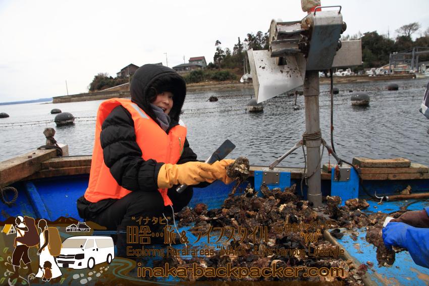 """男性陣は""""撮影""""ばかり...まりえちゃんは一人牡蠣の水揚げ作業を。この様子は北陸中日新聞の記事にでか~く掲載された。"""