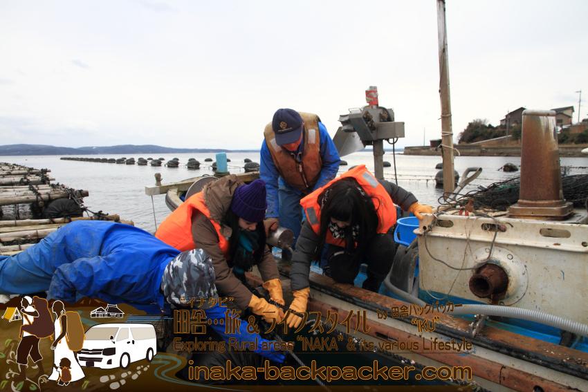 みんなで、牡蠣がついたロープを船にあげる。