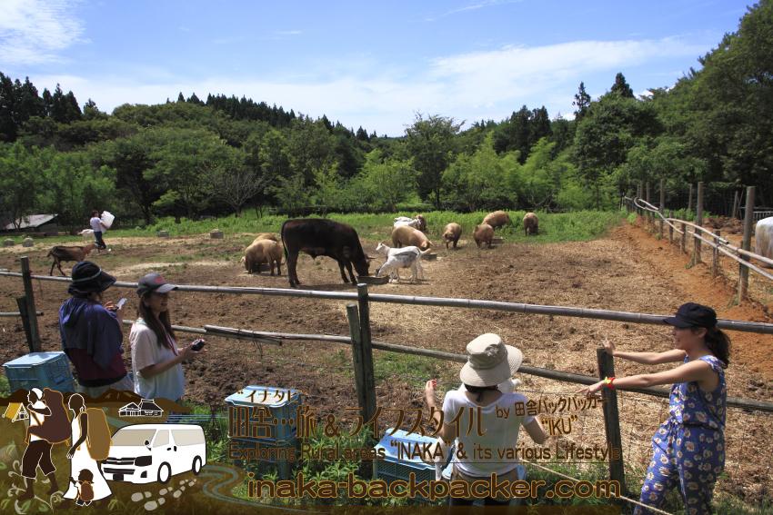 能登・穴水町鹿波 - 道坂一美さんの「タンポポファーム」。牛、豚、山羊が仲良く、共存している。