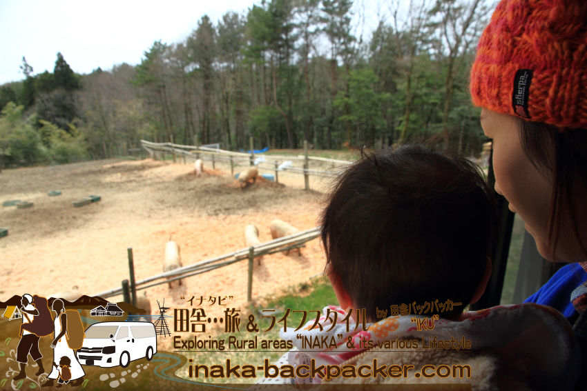 """能登・穴水町鹿波 - 道坂一美さんの「タンポポファーム」。少ない頭数の能登イベリコ豚、牛、山羊を広い環境で自然に近い飼料で育てている。人含め動物はみんな同じだと思うが、ストレスフリーな環境にいると""""気持ち良く""""育つのだろう。"""
