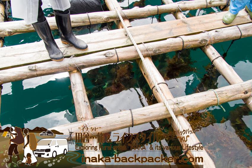 能登・穴水町岩車 - 筏にぶら下がっている牡蠣を引き上げる。不要となったホタテ貝の殻に、牡蠣の稚貝をくっつけて、ロープにぶら下げて、牡蠣の養殖をする。ホタテ貝の殻には数個もの牡蠣がくっついてる。