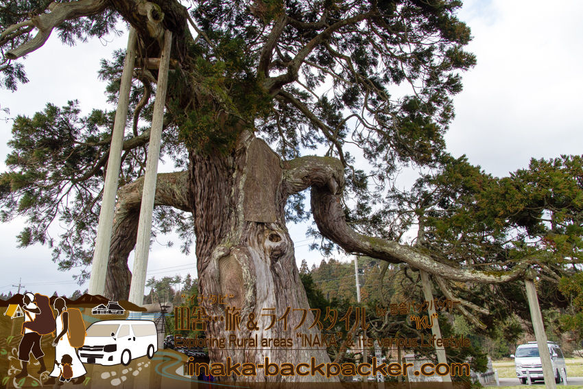 倒さスギ 珠洲 能登 石川県 cedar tree suzu ishikawa noto peninsula