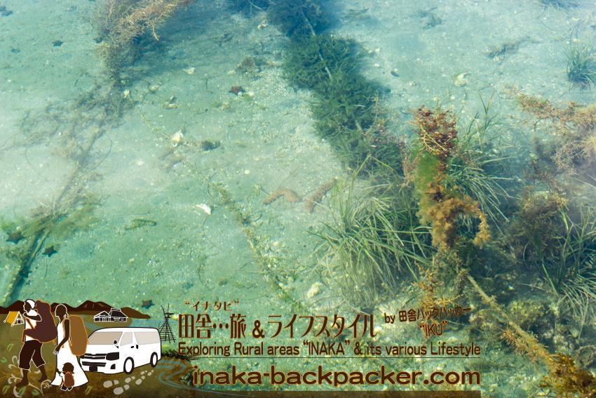 能登・穴水町岩車 - 漁港から見える海の底を歩いているナマコ