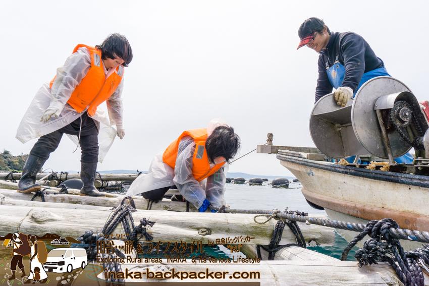 牡蠣の筏から牡蠣を船にあげる