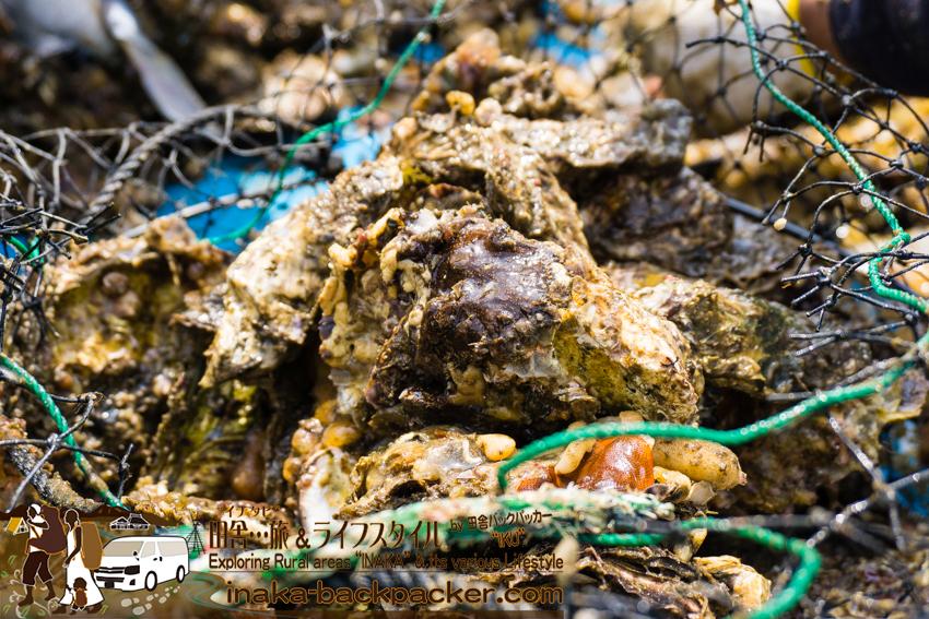 牡蠣貝にくっついているあらゆる生き物