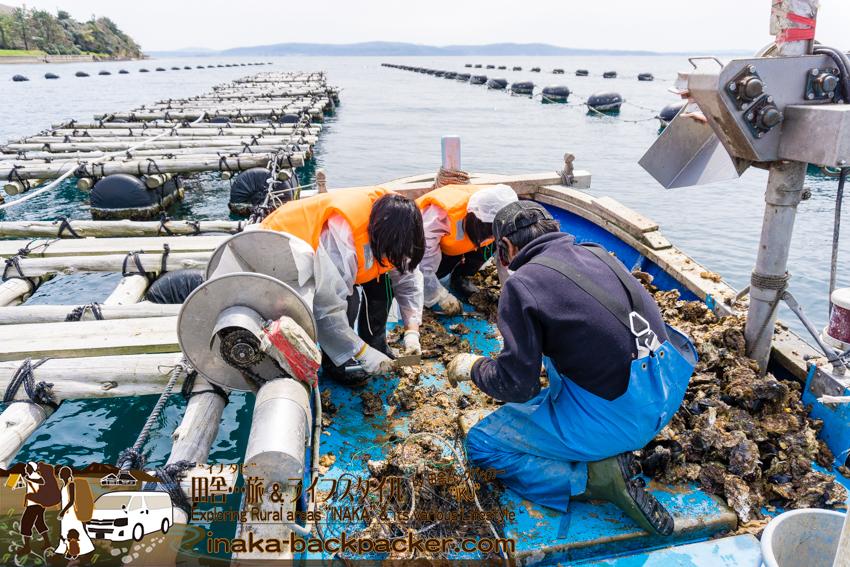 牡蠣の養殖 お手伝い