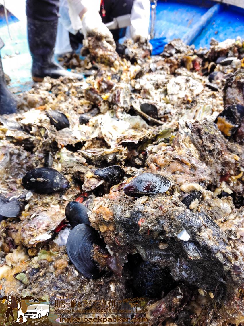 牡蠣貝にくっついているムール貝は海に放る。もったいない!