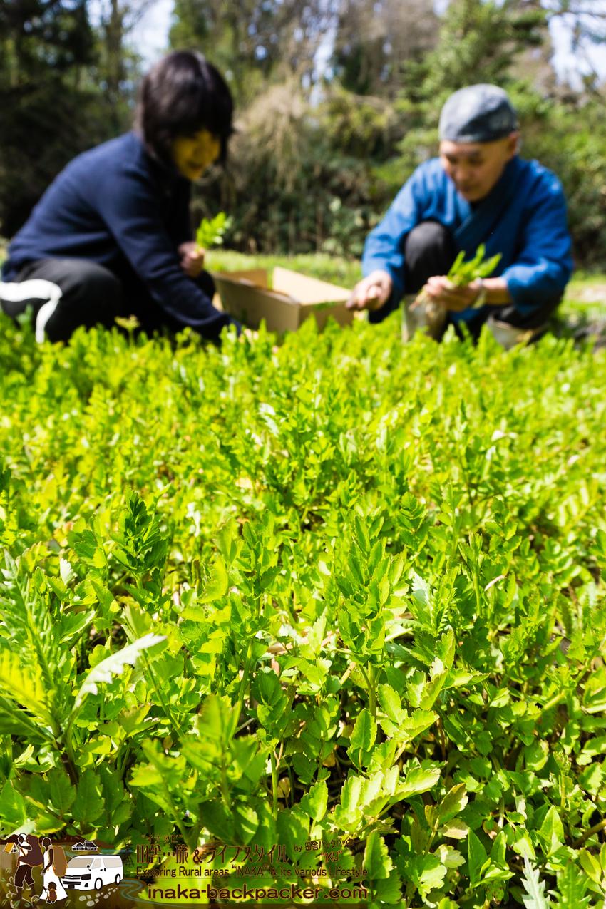 能登 穴水町で山菜を採る セリ、タラの芽、春蘭、ウドなど