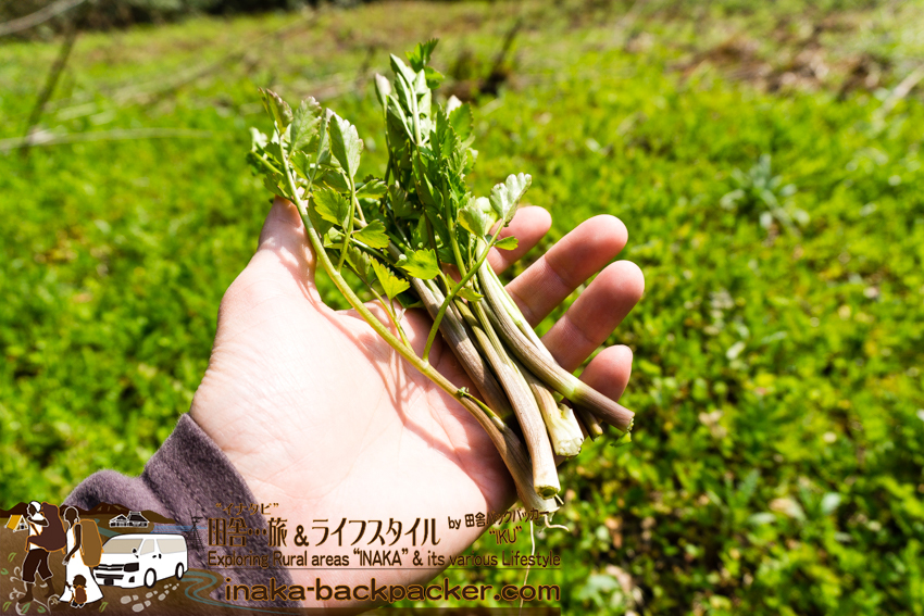 穴水町の山菜 セリ