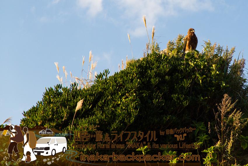 石川県輪島市曽々木 - 自然が多い環境で生きるトンビ。