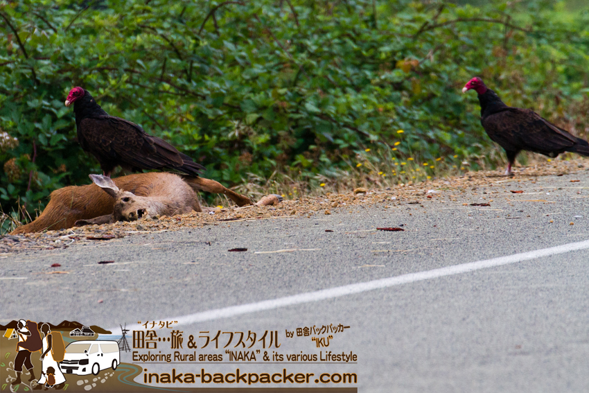 オレゴン州デイズクリークで遭遇した鹿を喰うコンドル Condors eating deer meat