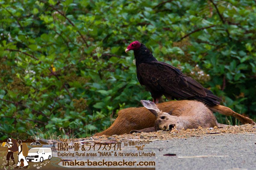 オレゴン 野鳥コンドルの撮影