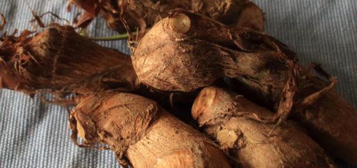 サトイモ 収穫したばかり