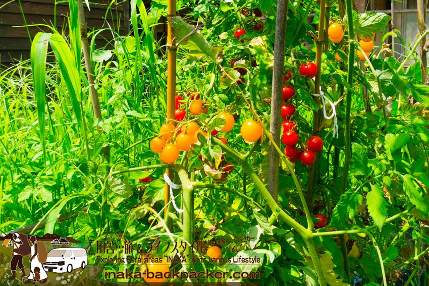 穴水町岩車 子供 畑で野菜採る