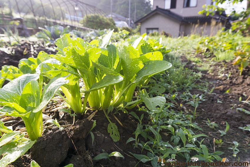 石川県 チンゲン菜 青梗菜