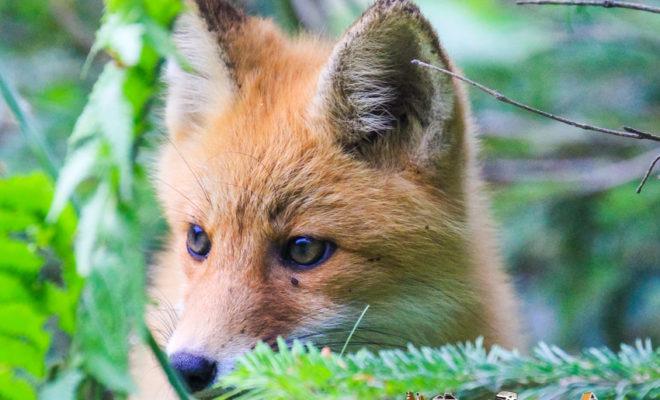 shiretoko hokkaido fox wild life animal