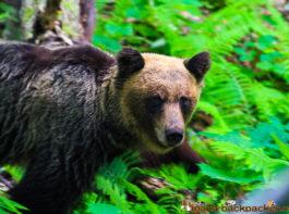 brown bears on shiretoko peninsula in Hokkaido Japan