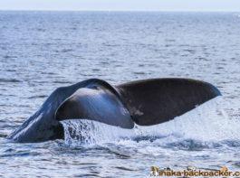 wild life sperm whale shiretoko hokkaido japan