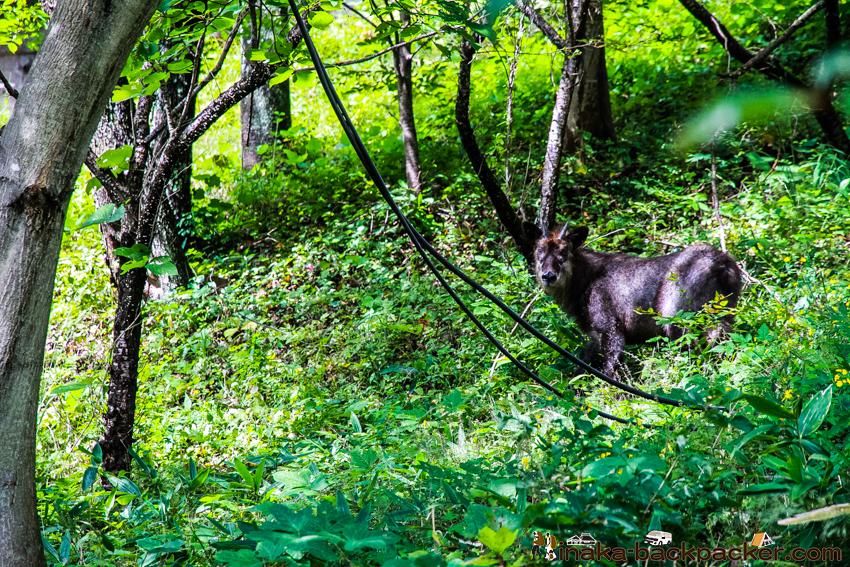 長野県 みどり湖 振り向くカモシカ