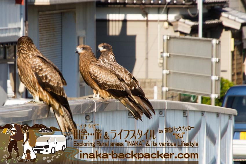 石川県舳倉島行きの定期船乗り場へと向かう途中に撮影したトンビ。