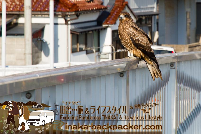 石川県舳倉島行きの定期船乗り場へと向かう途中に撮影。Yuka and I are off to Hegurajima Island where it is famous for migratory birds (in Ishikawa Pref.). On the way to liner port, we saw a black kite.