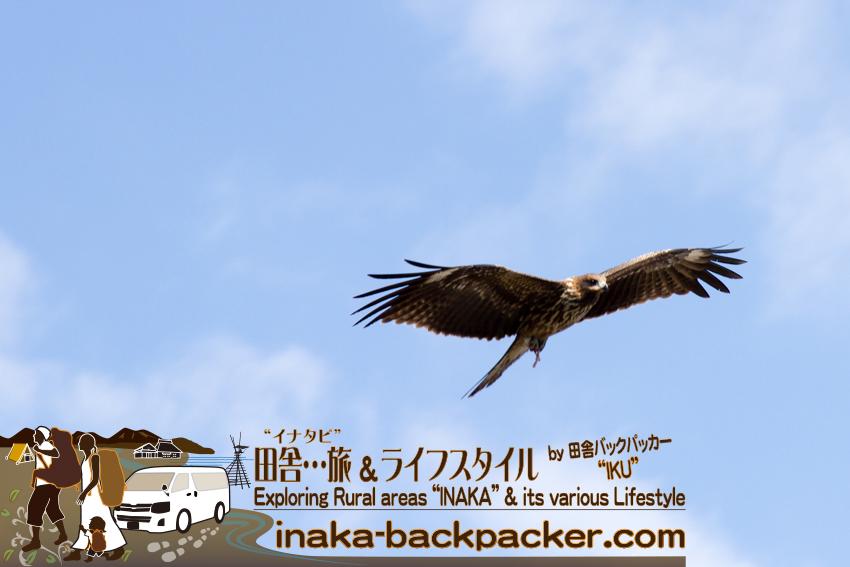 石川県輪島のトンビ。上空を飛び回り、餌を探している。